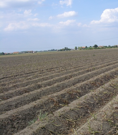 Patata di Bologna DOP - la coltivazione - 2