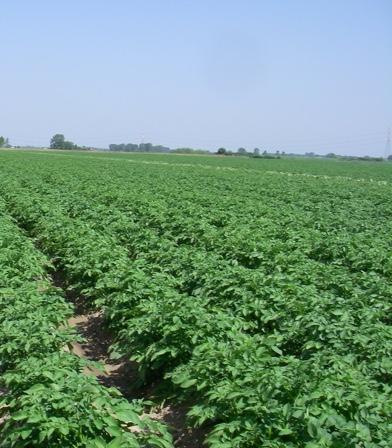 Patata di Bologna DOP - la coltivazione - 3