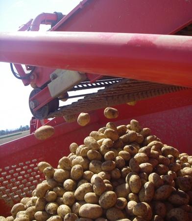 Patata di Bologna DOP - la coltivazione - 4