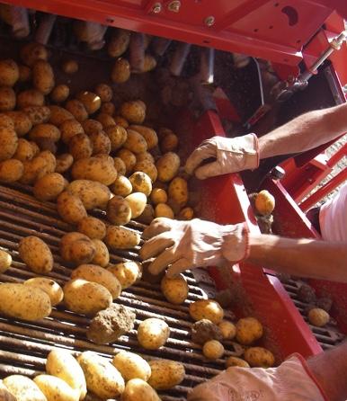 Patata di Bologna DOP - la coltivazione - 5